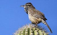 arizona-state-bird1