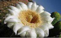 arizona-state-flower1